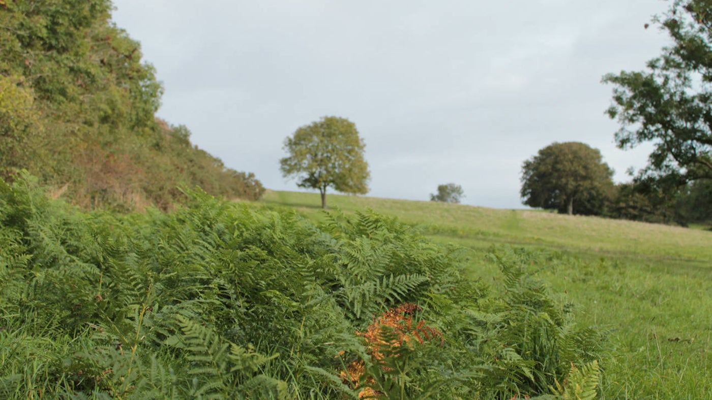 Bracken growing in the field at Cadbury Camp