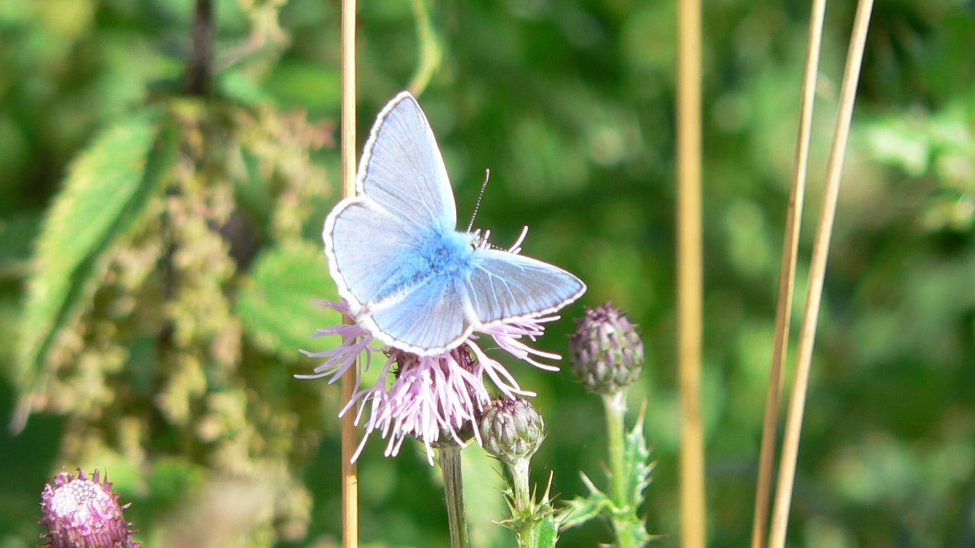 Common blue butterfly, Clumber