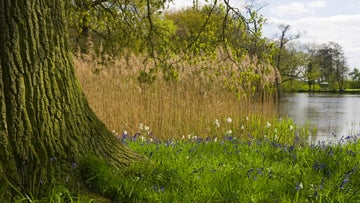 Bluebells growing under a tree beside the lake at Coughton Court, Warwickshire