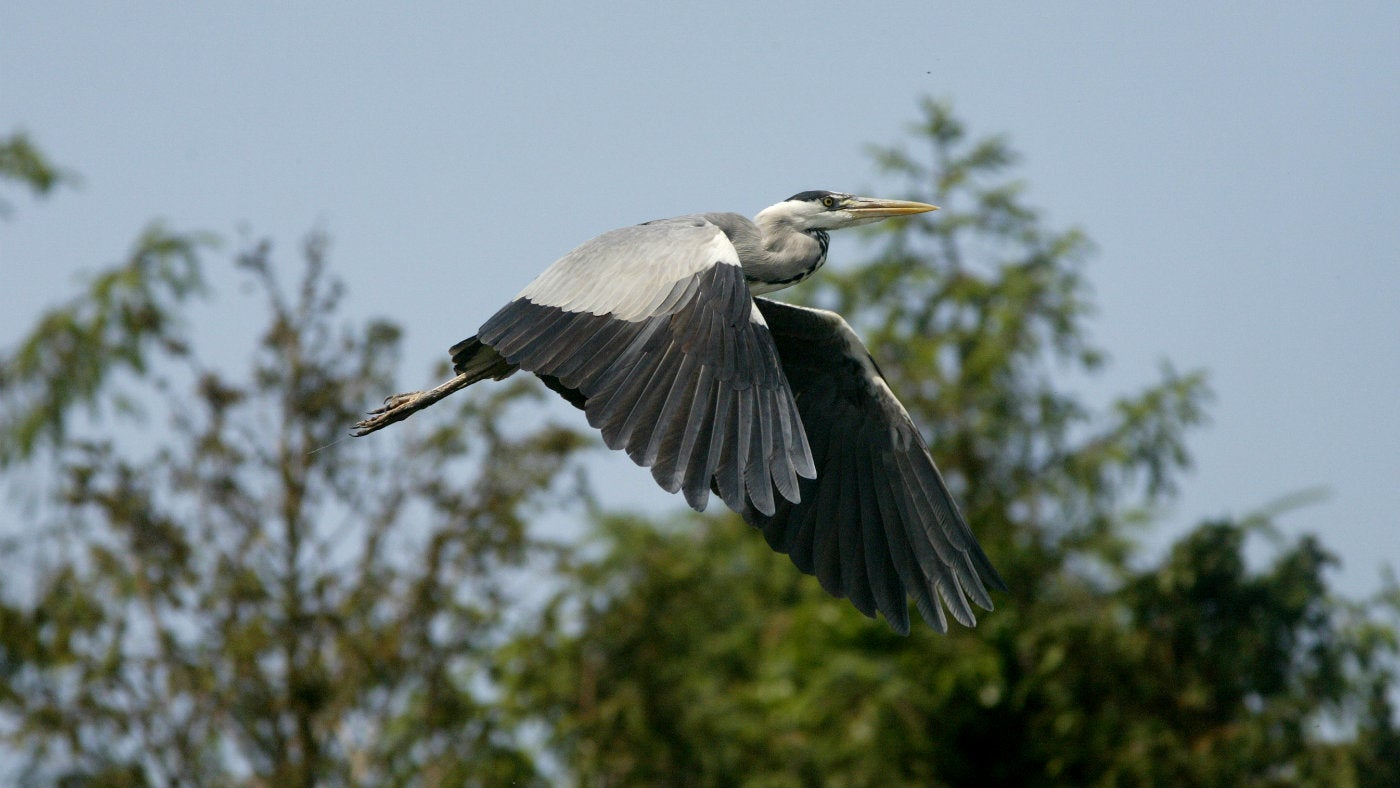 A heron flying