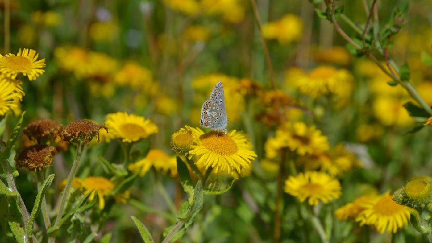 Common blue butterfly on common fleabane