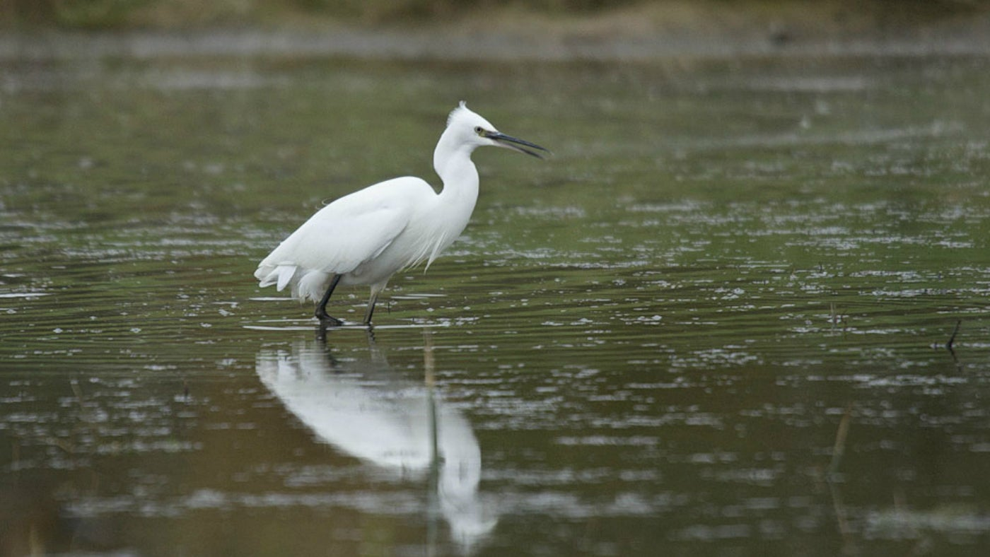 An egret wading through the water