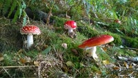 Red and white fly agaric toadstools growing among grass at Downs Banks