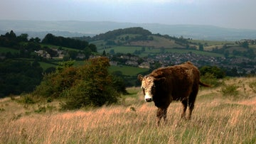 Rodborough Common, grazing cattle, Gloucestershire