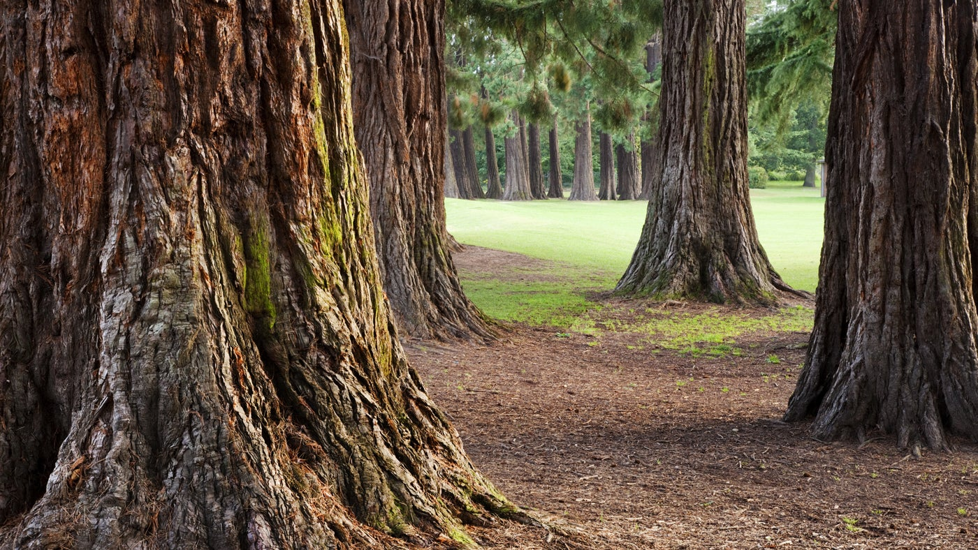 Giant Redwood trees in the country park at Tredegar House, Newport, South Wales