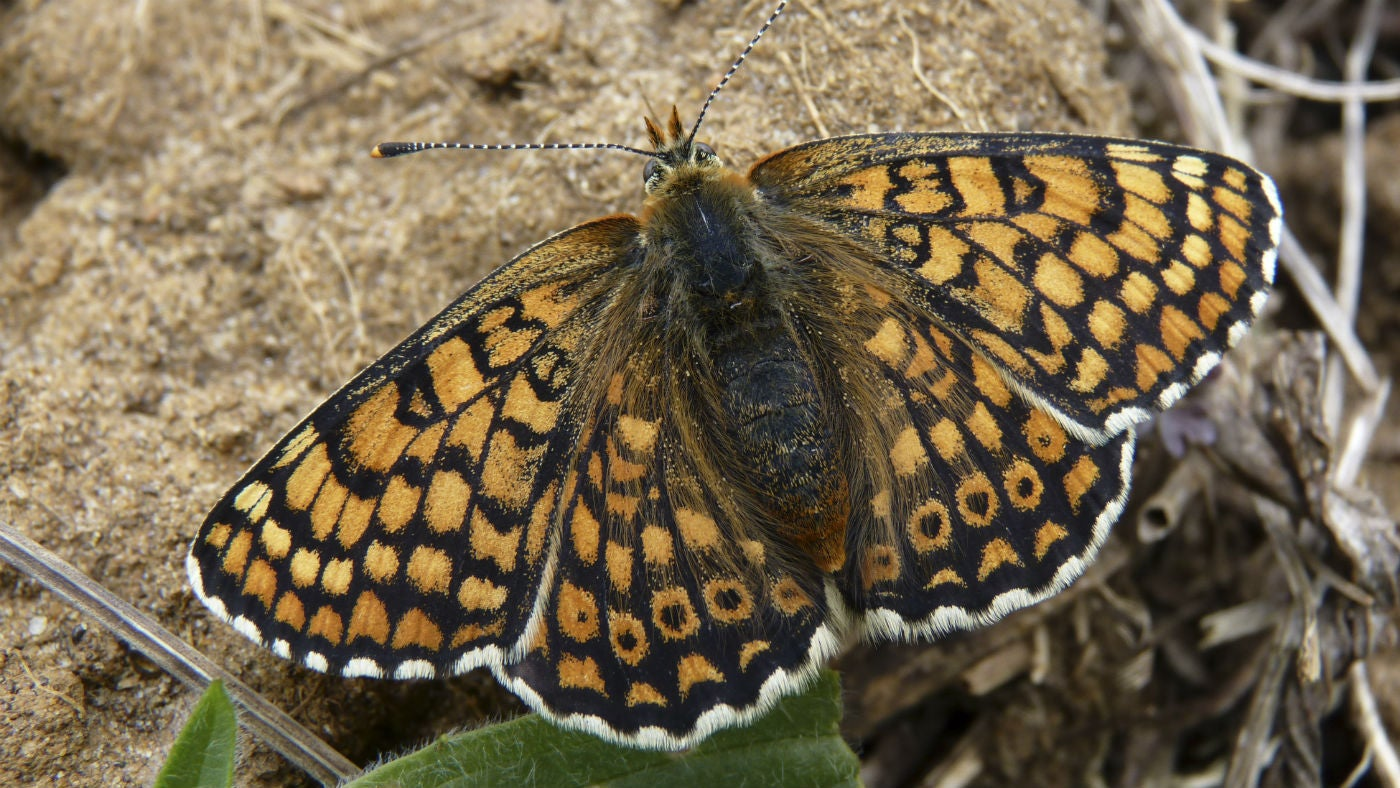 A rare Duke of Burgundy butterfly at Harting Down