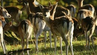 A herd of fallow deer graze on the grassland at Harting Down