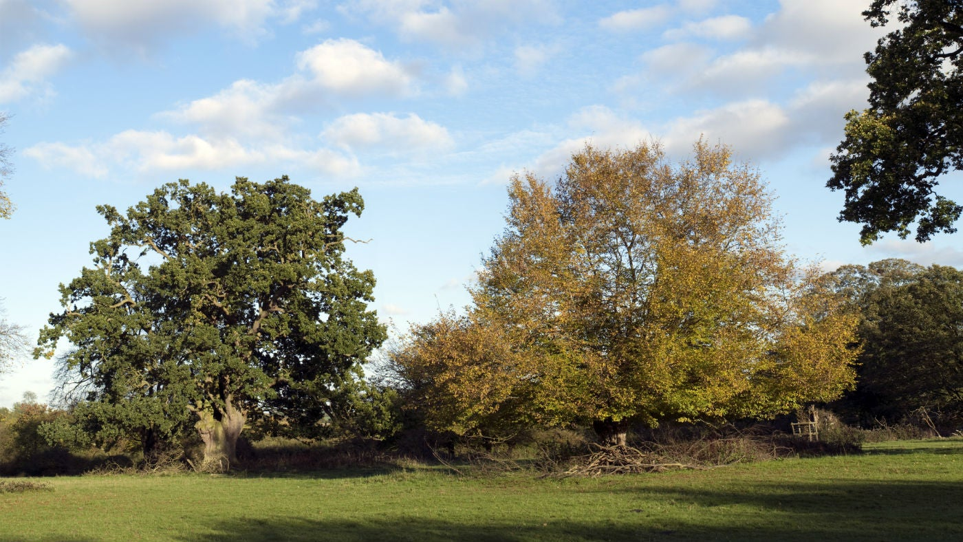 Ancient oak and hornbeam trees in autumn