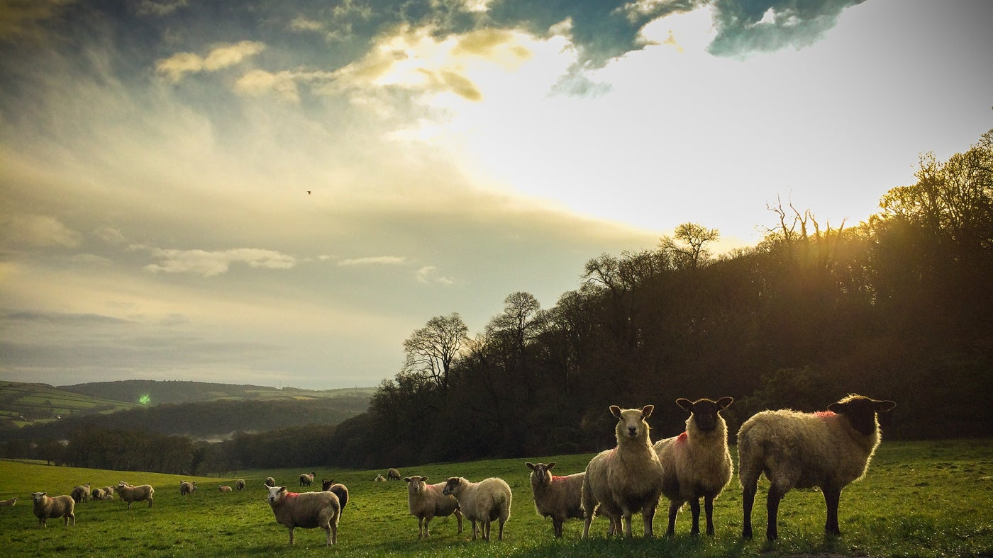 Sheep grazing in the Lanhydrock estate