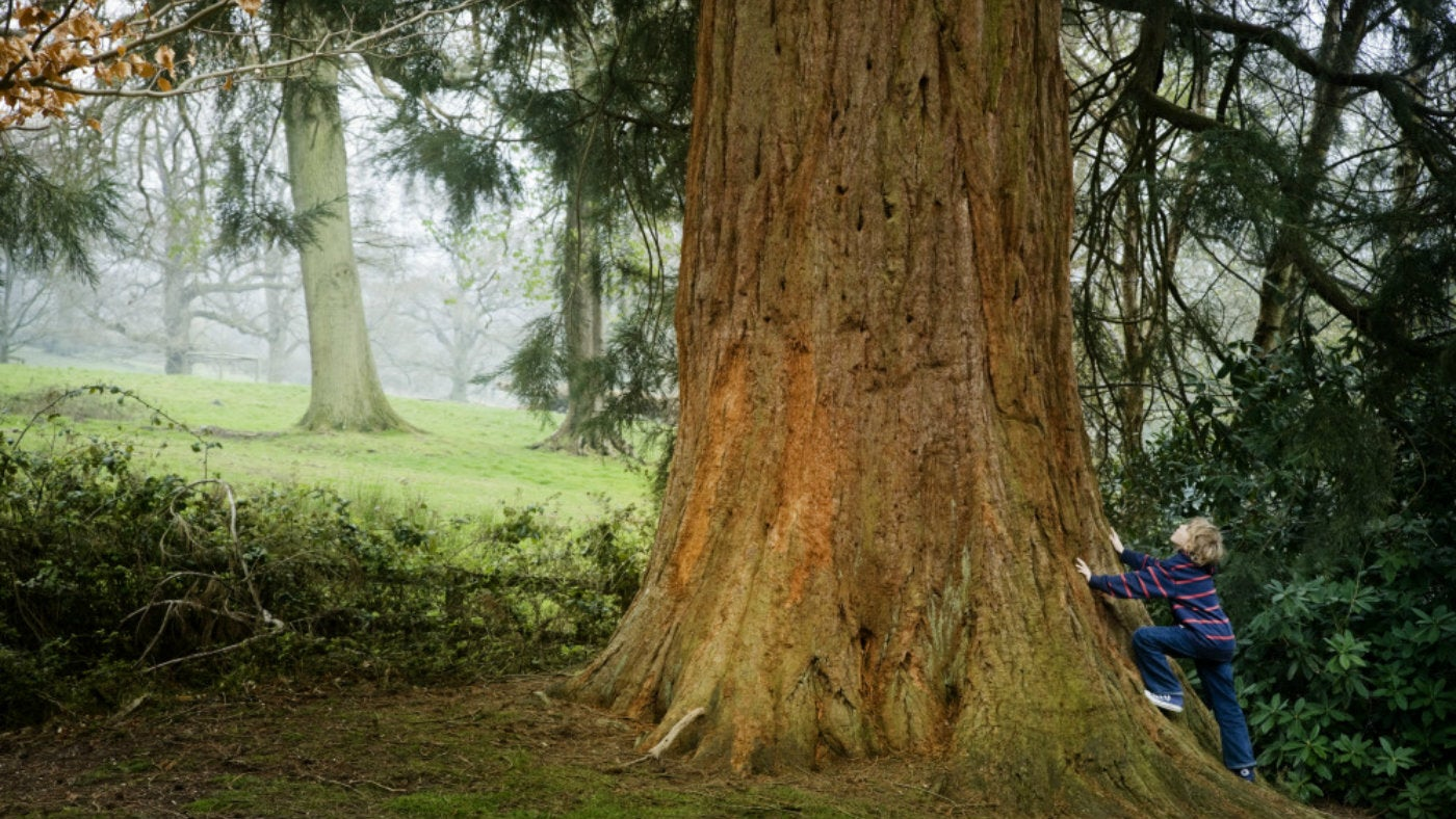 A child stares up the trunk of a giant redwood tree at Leith Hill in Surrey