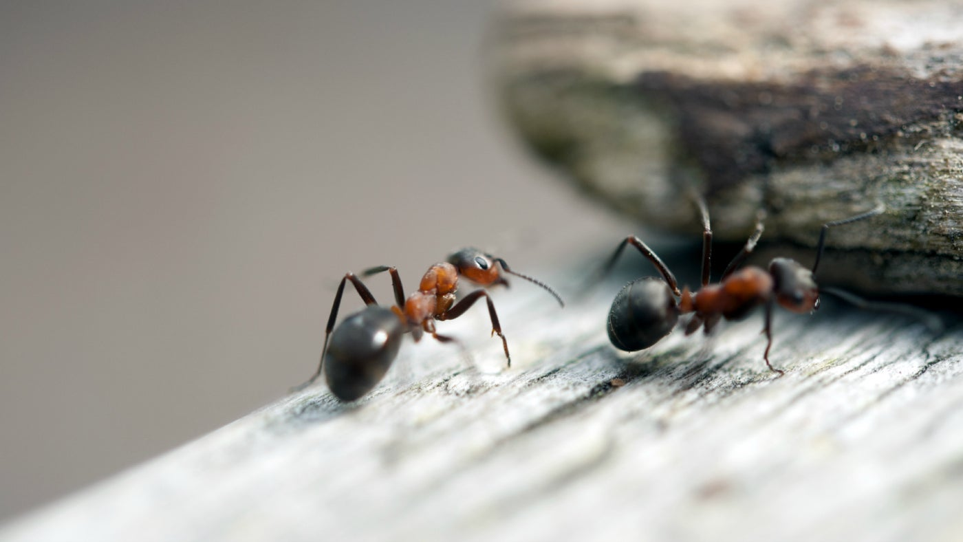 Close view of wood ants
