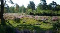 A landscape view of the heather in bloom over Marley Common