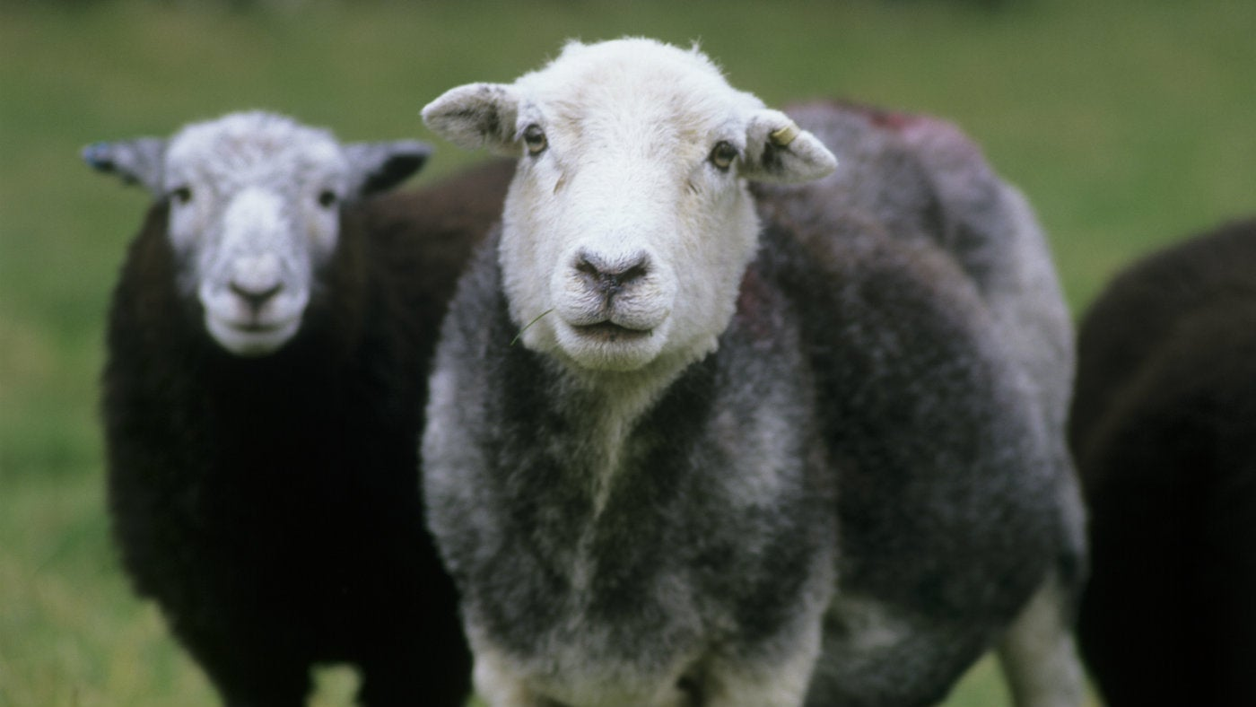 Herdwick sheep, Coniston, Cumbria