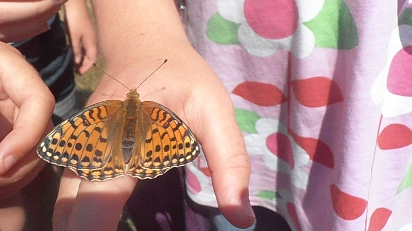 A male dark green fritillary butterfly suns itself on a child's hand