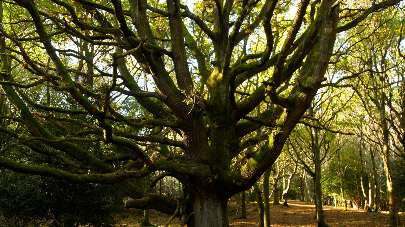 An old oak tree at Woodlands Hill, Quantock Hills, Somerset