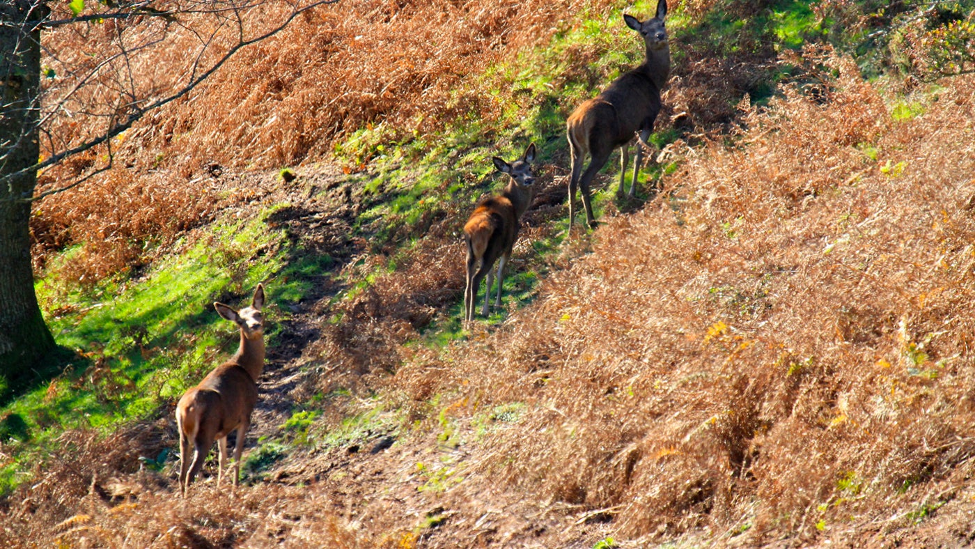 Red deer near Staple Plain, Somerset