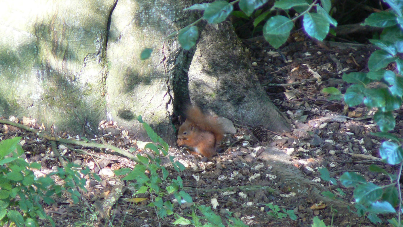 A red squirrel at the base of a Cragside tree