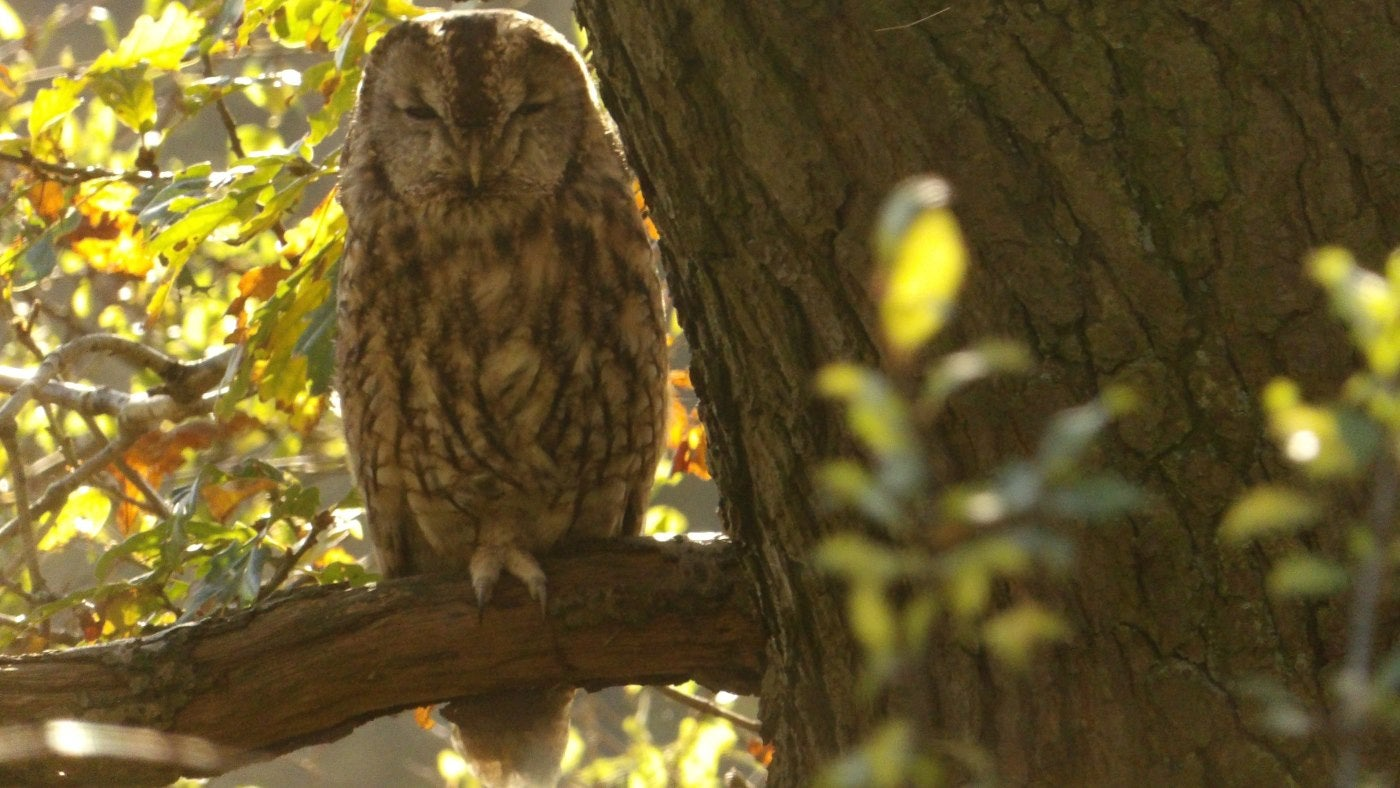 A tawny owl dozes on a branch in dappled sunlight