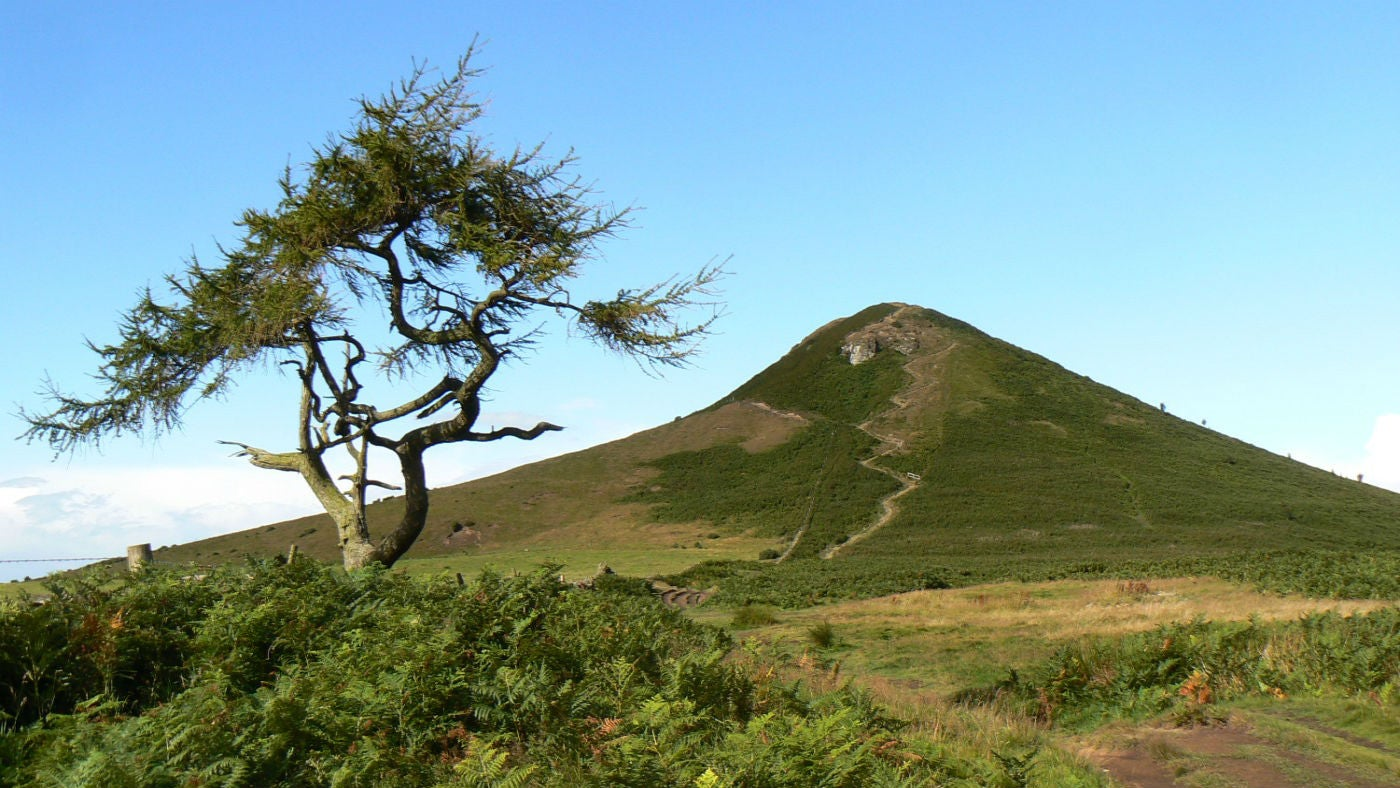 Roseberry Topping viewed from the south east with a twisted larch tree in the foreground