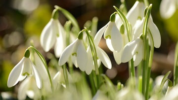 Close up picture of snowdrops