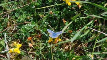 Common blue butterfly, Stackpole
