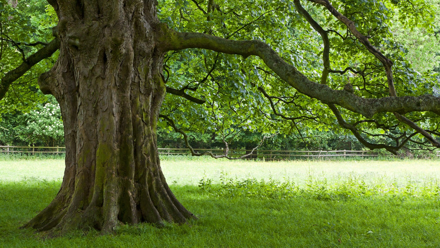 A tree in the parkland at Calke Abbey, Derbyshire