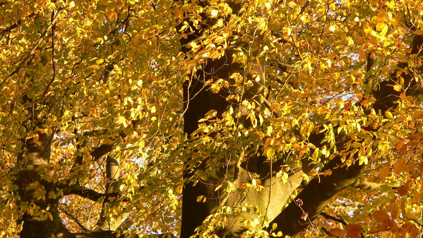 Golden beech leaves sway in Clockhouse Wood at Alderley Edge