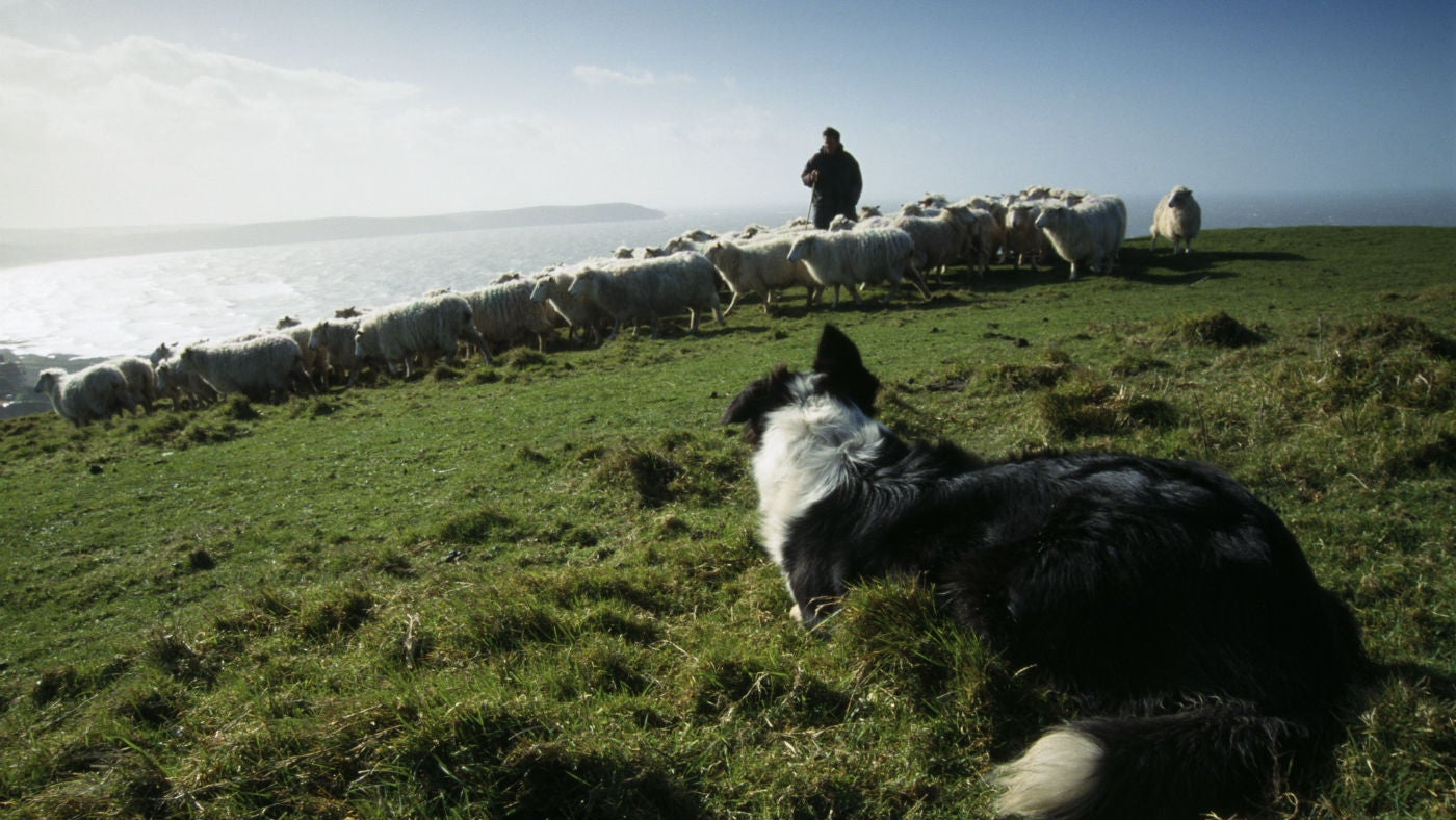 Border collie working the sheep at Morte Point, Devon